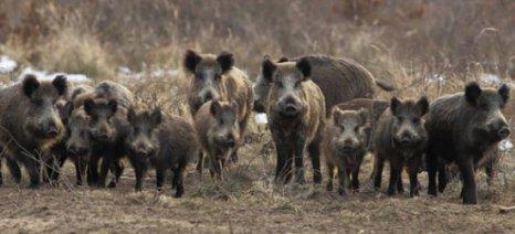 Πρόταση οικονομικών ανταμοιβών σε κυνηγούς αγριόχοιρων