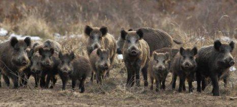 Κυνήγι αγριόχοιρων στο πλαίσιο πρόληψης της αφρικανικής πανώλης