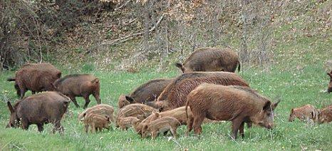 Η απάντηση του υπουργείου Περιβάλλοντος για τα προβλήματα στη φυτική παραγωγή από τους αγριόχοιρους στη Δ. Μακεδονία