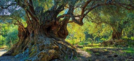 Έκθεση φωτογραφίας στη Σητεία με θέμα τις αιωνόβιες ελιές της Κρήτης