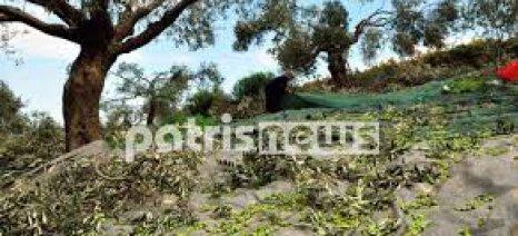 Ακαρπία έχει χτυπήσει τα ελαιόδεντρα της Ηλείας
