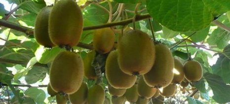Βελτιώνονται οι εξαγωγές ακτινιδίων, εσπεριδοειδών και μήλων