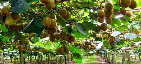 Καμπανάκι Incofruit για εισαγόμενη από Ιταλία επιμόλυνση ακτινιδίων