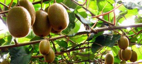 Συνεχής η βελτίωση των εξαγωγών ακτινιδίων και άλλων οπωροκηπευτικών