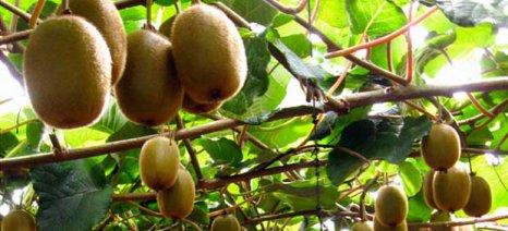 Εντείνεται η διεθνής ζήτηση ακτινιδίων – εσπεριδοειδών, αναβαθμισμένες οι εξαγωγές εαρινών φρούτων