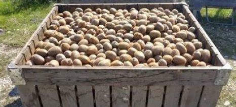 Οι εξαγωγές ατυποποίητων ακτινιδίων ρίχνουν τις τιμές και εγκυμονούν κινδύνους εισαγόμενης επιμόλυνσης, λέει ο Incofruit