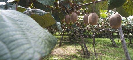 Στα 35 με 45 λεπτά οι τιμές παραγωγού στο ακτινίδιο για τους καλλιεργητές των Ιωαννίνων