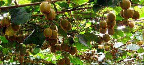 Εντείνεται η διεθνής ζήτηση ακτινιδίων – εσπεριδοειδών και φραουλών