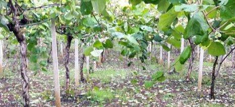 Ολική καταστροφή σε ακτινιδεώνες της Πιερίας από το χαλάζι