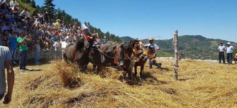 Βαλτεσινίκο Γορτυνίας: Αναβίωση του παραδοσιακού αλωνίσματος