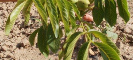 Διαχείριση των δέντρων αμυγδαλιάς και καρυδιάς στη φύτευση, από τον Γ. Νάνο