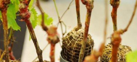 Δυσνόητο για τους Ευρωπαίους αμπελουργούς το σύστημα αδειών νέων φυτεύσεων