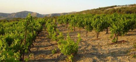Ο Αγροτικός Συνεταιρισμός Κεφαλληνίας & Ιθάκης προειδοποιεί τους αμπελουργούς για τις μυκητοπροσβολές