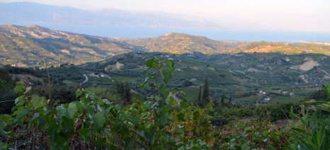 Ανεξήγητα μαραμένα είναι τα σταφιδάμπελα σε δύο χωριά της Ηλείας: Αυτοψία θα κάνει σήμερα η ΔΑΟΚ