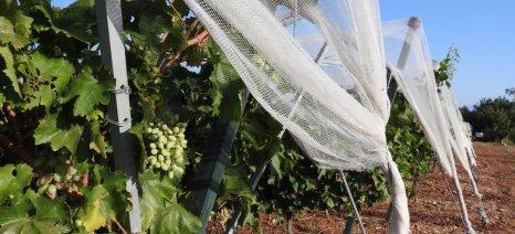 Καταπολέμηση ευδεμίδας και άλλων εχθρών του αμπελιού κατά το στάδιο της ωρίμανσης των σταφυλιών