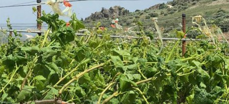 Ξεκίνησαν δηλώσεις για αποζημίωση των πληγέντων αμπελοκαλλιεργητών της Κρήτης