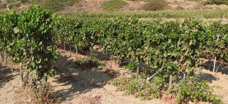 «Σβήνει» η αμπελοκαλλιέργεια στο νομό Χανίων, λόγω της βιομηχανοποίησης της παραγωγής