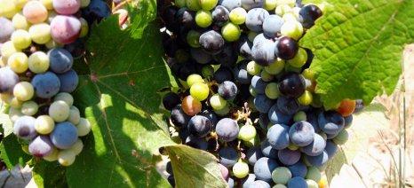 Το φως του ελληνικού κρασιού είναι ο πρωταγωνιστής του νέου ντοκιμαντέρ του Κ. Τσεκλένη