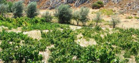 Το πρόγραμμα παραλαβής κρασοστάφυλων του Αγροτικού Συνεταιρισμού Λήμνου
