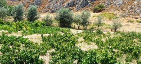 Βγήκαν τα πορίσματα του ΕΛΓΑ για τις ζημιές από καύσωνα στα αμπέλια της Λήμνου
