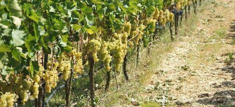 Καλή αμπελοοινική συγκομιδή και αύξηση τιμών παραγωγού στην Ζίτσα