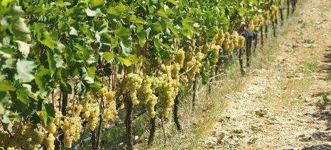 Αναγγελία ζημιάς για όλες τις αμπελοκαλλιέργειες του δήμου Τυρνάβου