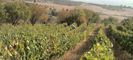 Οι αμπελουργοί Ζίτσας αντιδρούν στον ευρωπαϊκό κανονισμό που περιορίζει τις νέες φυτεύσεις