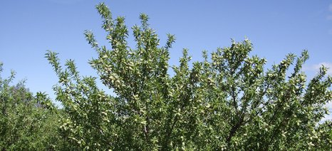 Συστάσεις ψεκασμών στις αμυγδαλιές για τετράνυχους και κοκκοειδή στη Θεσσαλία