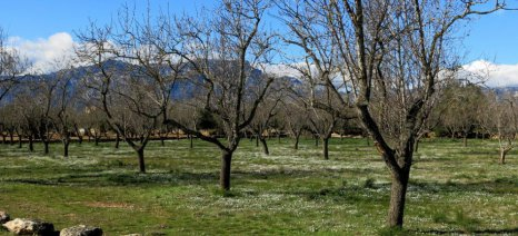 Ανεπαρκής η ενίσχυση de minimis στους αμυγδαλοπαραγωγούς λέει ο Βελόπουλος