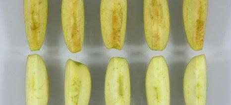 Στην αγορά των ΗΠΑ το πρώτο γενετικά τροποποιημένο μήλο, που δε μαυρίζει