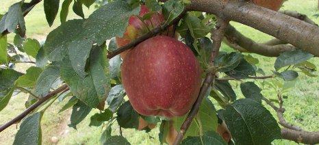 Ποιες ποικιλίες μηλιάς προτιμούνται στις νέες φυτεύσεις από τους Ευρωπαίους καλλιεργητές