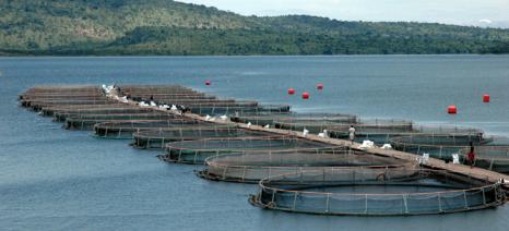 Η μείωση των ιχθυοαποθεμάτων θα αυξήσει κατακόρυφα τα ψάρια ιχθυοκαλλιέργειας