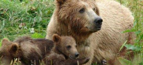 Πληθαίνουν οι αρκούδες στην Ελλάδα