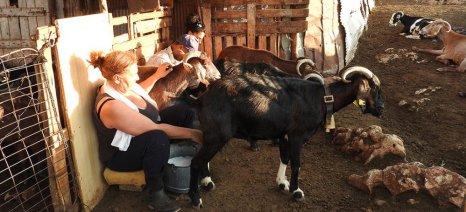 Τακτικισμοί βιομηχάνων θολώνουν το τοπίο γύρω από την τιμή του αιγοπρόβειου γάλακτος