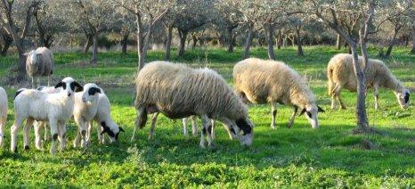 Στα 3,2 ευρώ υποχώρησε η τιμή του αρνίσιου κρέατος στη Λέσβο
