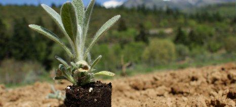 Κομοτηνή: Η ΚοινΣΕπ «Αμάλθεια» επενδύει σε αρωματικά φυτά και λαχανόκηπο