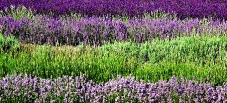 Εφαρμογή σε κινητά τηλέφωνα για τους παραγωγούς αρωματικών φυτών της Κρήτης