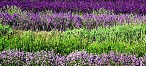 Κατάρτιση σε φαρμακευτικά - αρωματικά φυτά από ΜΑΙΧ και ΓΠΑ