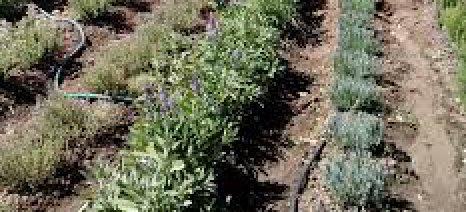 Εσπερίδα με θέμα «Αρωματικά φυτά: Προοπτικές και πλαίσιο ανάπτυξης» στις Φέρες