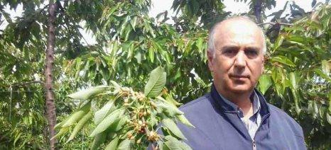 Τραγική η μείωση της σοδειάς κερασιών στο Μεσόβουνο