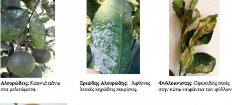 Οι ασθένειες των εσπεριδοειδών αυτή την εποχή και πώς αντιμετωπίζονται