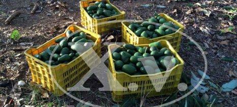 Ανησυχία για το αβοκάντο από τη βιασύνη παραγωγών