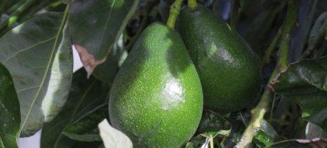 Εσπερίδα για τα αβοκάντο στα Περιβόλια Χανίων σήμερα