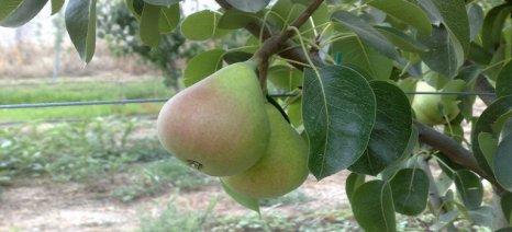 Τι πρέπει να προσέξουμε και πώς αντιμετωπίζονται η καρπόκαψα της μηλιάς και η ψύλλα της αχλαδιάς