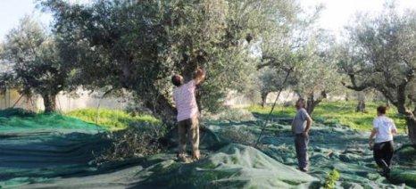 Πρωτιά στην παραγωγή ελαιολάδου διεκδικεί και φέτος η Μεσσηνία με 23%