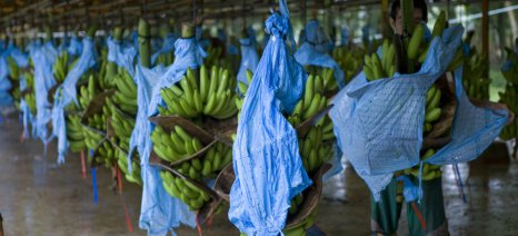 Ένα εκατ. ευρώ θα επενδύσουν τα σούπερ-μάρκετ Rewe για αειφορική καλλιέργεια μπανάνας