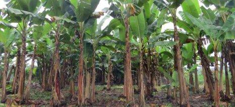 Παραγωγή ενέργειας από υπολείμματα καλλιέργειας μπανάνας στο Εκουαδόρ