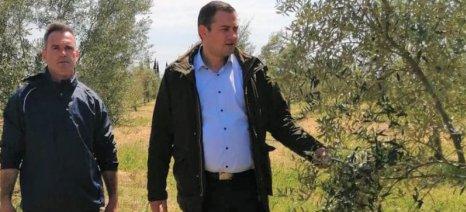 Ζημιές από τον καύσωνα στις ελιές της Δυτικής Ελλάδας