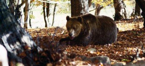 Βοσκός αντιμέτωπος με… τέσσερις αρκούδες στην Καστοριά!