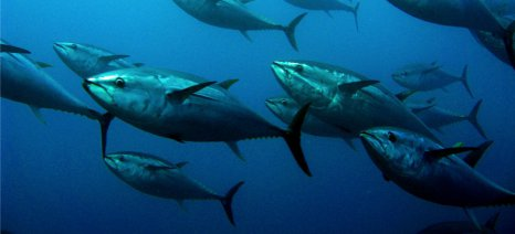 Απαγορεύεται η αλίευση τόνου και ξιφία Μεσογείου από την 1η Ιανουαρίου του 2017
